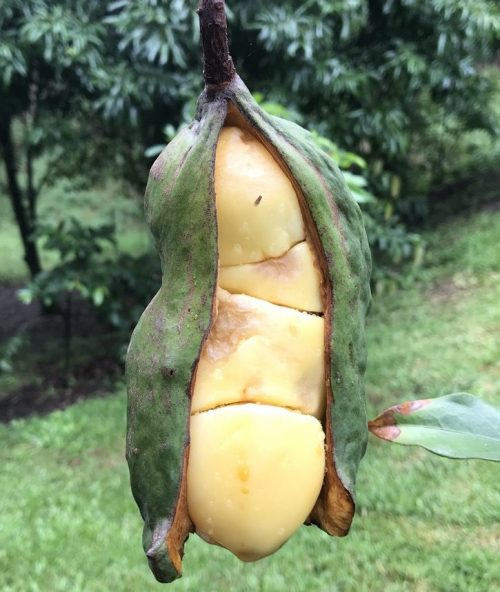 Cola Nitida – Kola Nut (plant)