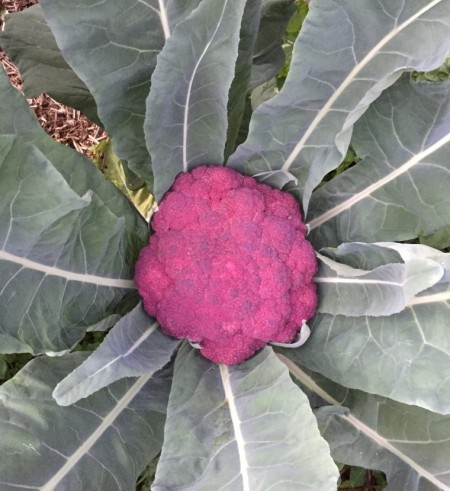 Brassica Oleracea – Purple Cauliflower (seed)