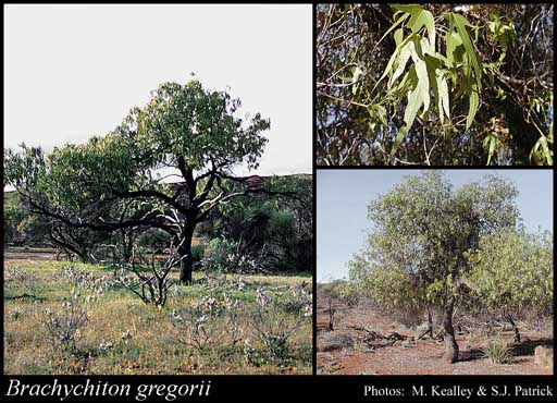 Brachychiton Gregorii – Desert Kurrajong (seed)