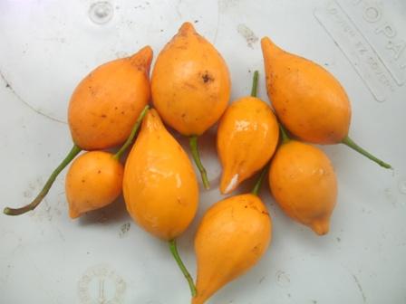Tabernanthe Iboga – Iboga Round Fruit (seed)