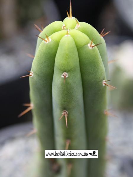 Trichocereus 'HB06' (cactus)