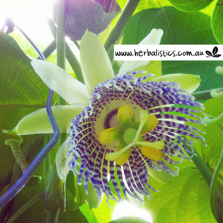 Passiflora Ligularis – Sweet Granadilla (plant)