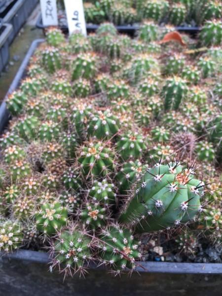 Trichocereus peruvianus Icaro