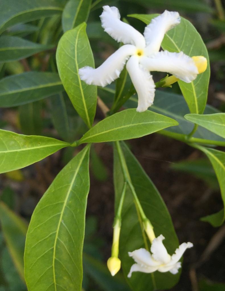Tabernaemontana Pandacaqui – Banana Bush (seed)