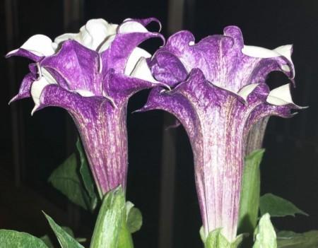 Datura Metel Cv. Wondrous Bella (seed)