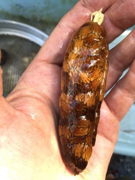 Brugmansia seeds