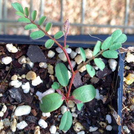 Petalostylis Cassioides Seedling