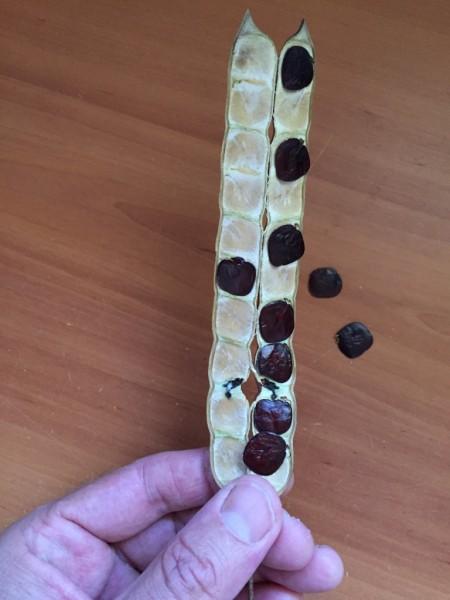 Anadenanthera peregrina seed pod