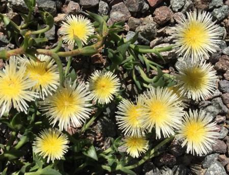 Sceletium varians flowers