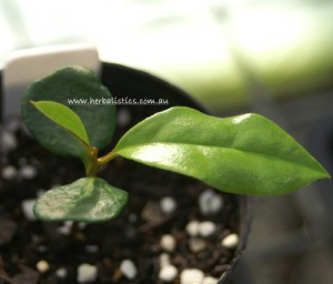 Galbulimima baccata seedling