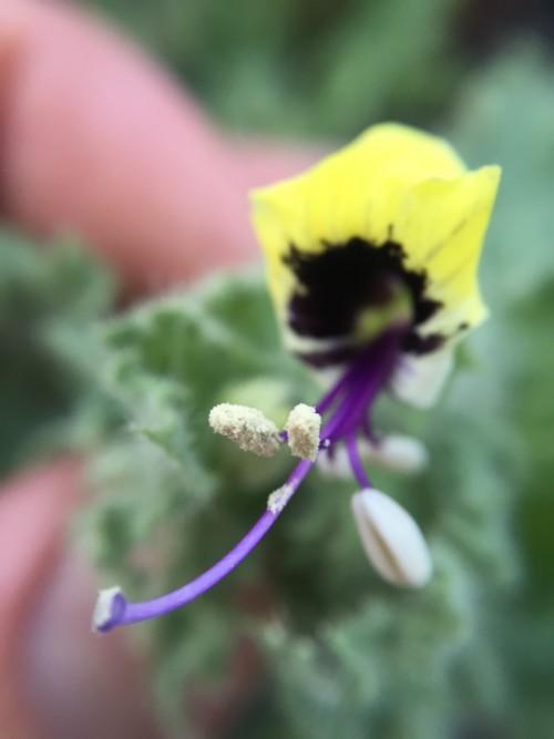 Hyoscyamus Aureus – Golden Henbane (seed)