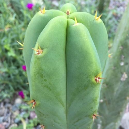 Trichocereus Bridgesii X 'Luther Burbank'