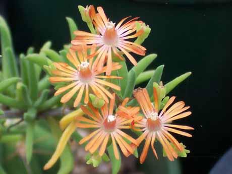 Mestoklema Tuberosum – Donkey Fig (plant)