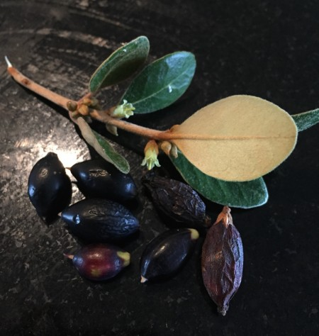 Sersalisia Sericea – Australian Bushfood