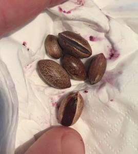 Sersalisia sericea seeds