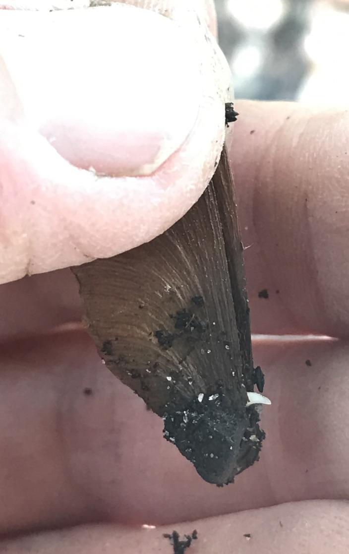 Caapi seeds