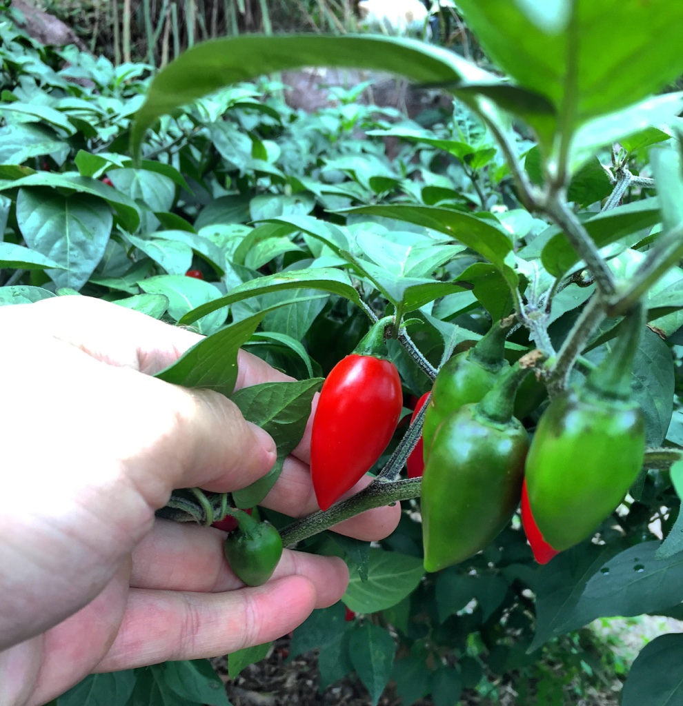 Chilli Breeding For Subtropical Australia