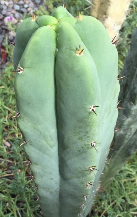Trichocereus HB07
