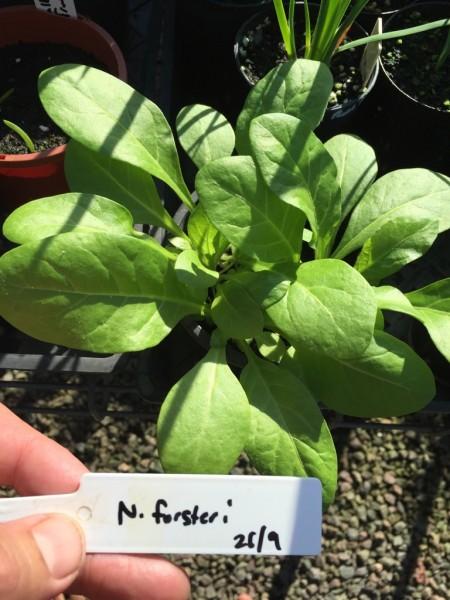 Nicotiana Forsteri – (seed)