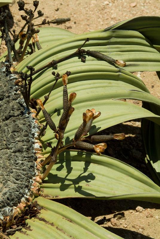 Welwitschia Mirabilis (plant)