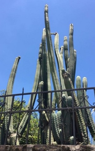 Trichocereus Pachanoi 'Tumbaco BC1601' (cactus)