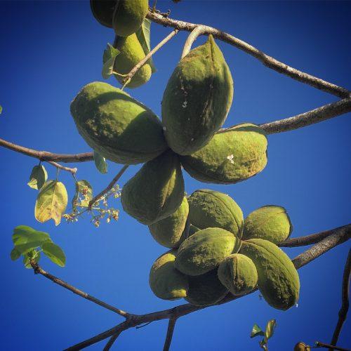 Peanut Tree. Sterculia Quadrifida