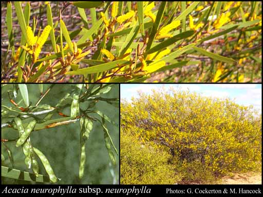 Acacia Neurophylla Ssp. Neurophylla