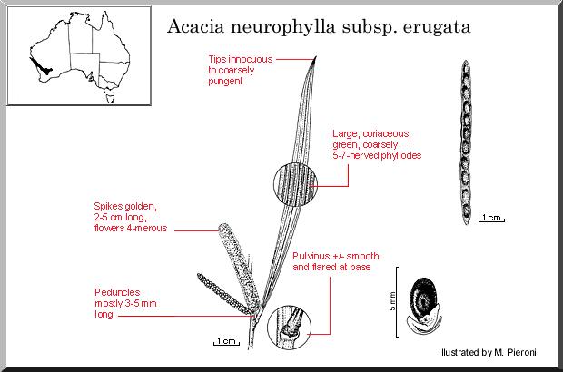 Acacia neurophylla ssp. erugata