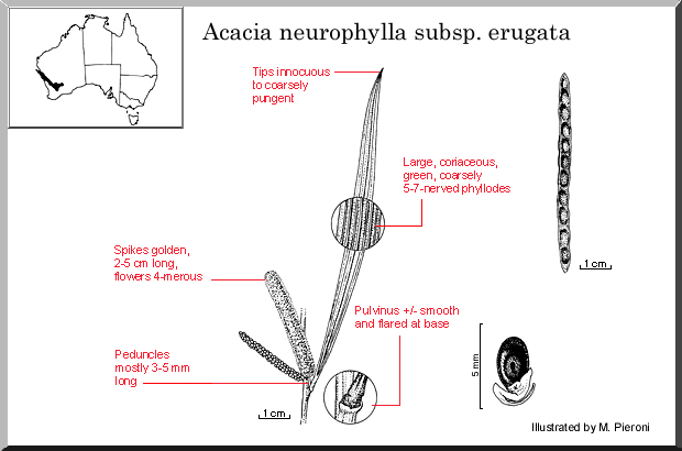 Acacia Neurophylla Ssp. Erugata (seed)