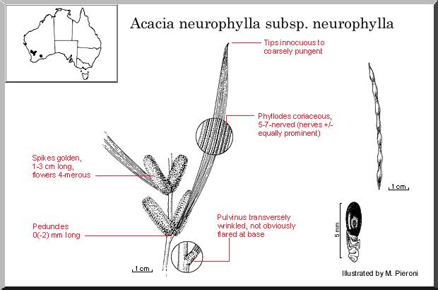 Acacia Neurophylla Ssp. Neurophylla (seed)
