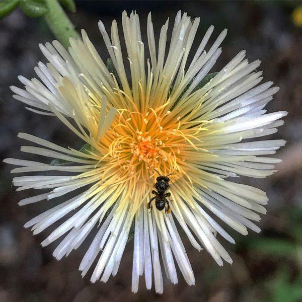 Sceletium varians with native stingless bee