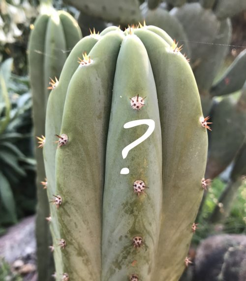 Trichocereus Mystery Cutting (250mm)