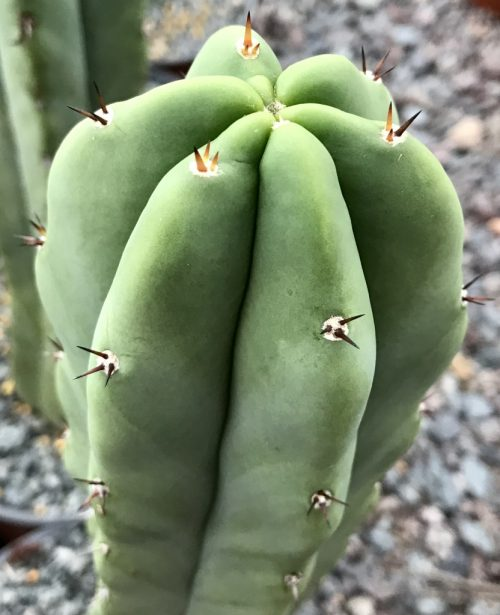 Trichocereus 'HB07' (cactus)