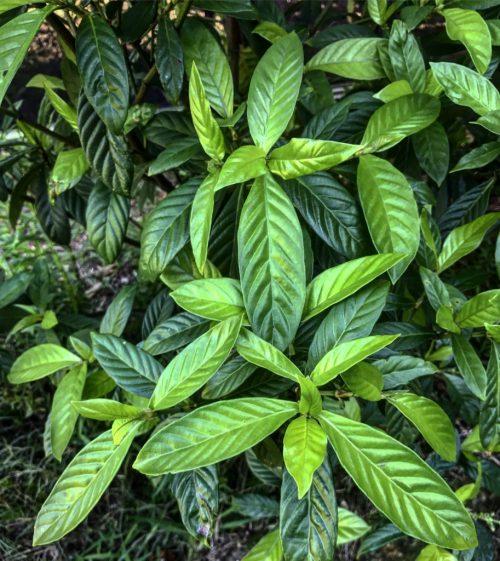 Psychotria Viridis UDV