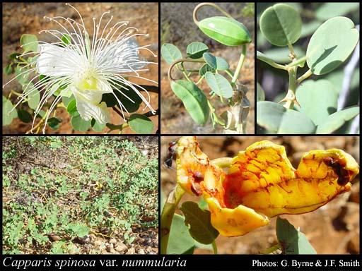 Capparis Spinosa Var. Nummularia – Caper Bush (plant)