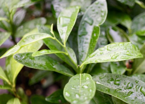 Diospyros Hebecarpa – Scrub Ebony (plant)