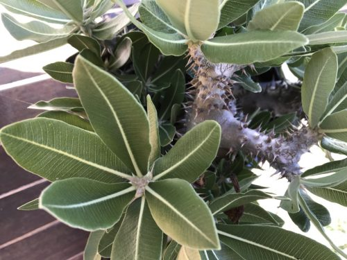 Pachypodium Horombense – Yellow Bell (seed)