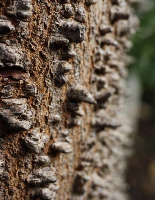 Anadenanthera peregrina bark