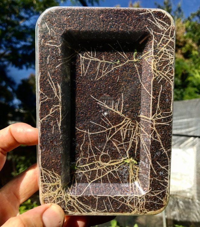 Takeaway Tek - Psychotria leaves