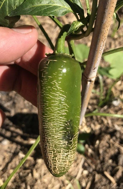 Capsicum Annuum 'Jalapeno Chichimeca' (seed)