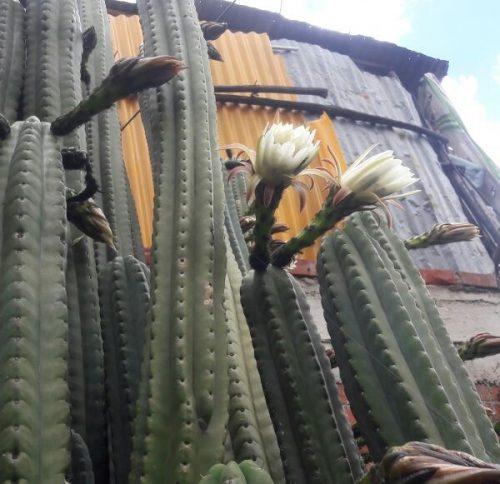 Trichocereus Pachanoi 'Huarazino' (cactus)
