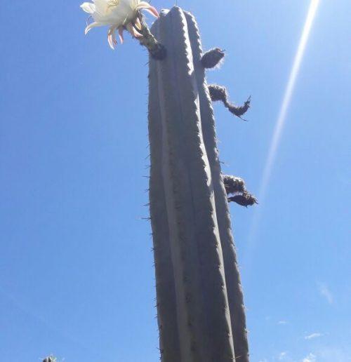 Trichocereus Pachanoi 'Pumacayan' (cactus)