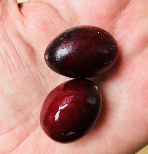 Manilkara Kauki – Wongai (seed)