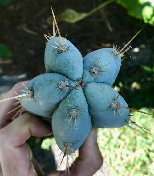 Trichocereus Peruvianus 'BK08612.4' (cactus)