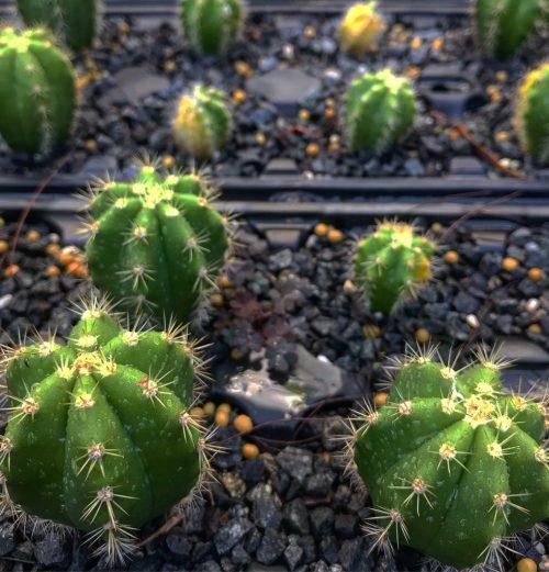 Trichocereus Terscheckii (SS) X T.scopulicola (cactus)