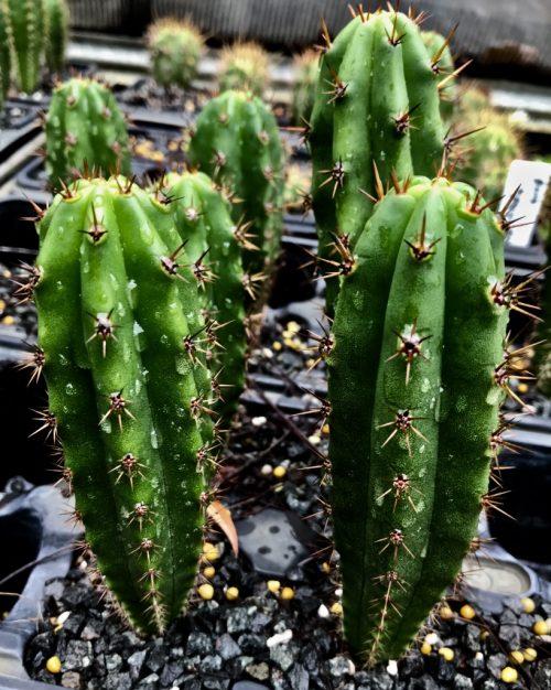Trichocereus 'Yoda' X 'Melted Wax' (cactus)