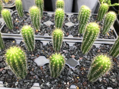 Trichocereus arboricola x variegated red grandiflorus