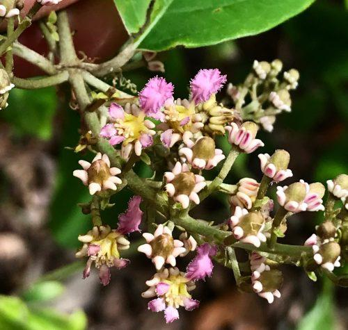Alicia Anisopetala – Black Ayahuasca (plant)