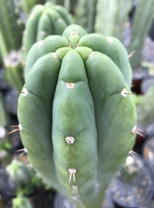 Trichocereus pachanoi Matucana