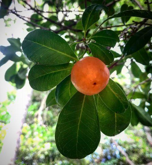 Fontainea Venosa 'Southern Blushwood' (plant)